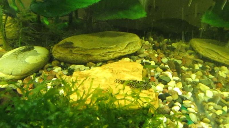 Разделение наших севеллий еще на один аквариум