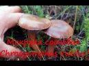 Мокруха сосновая хороший гриб