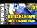 Охота на бобра капканами по открытой воде 1