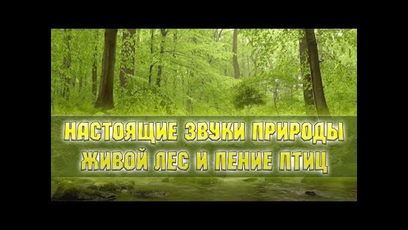 Настоящие звуки природы - живой лес, пение птиц.