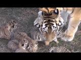 Шесть тигрят мамы Фриды пополнение в крымском сафари-парке Тайган