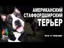 Американский Стаффордширский Терьер - Все о породе собаки   Собака породы - Стаф ...