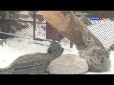 Потрясающие игры детенышей снежного барса