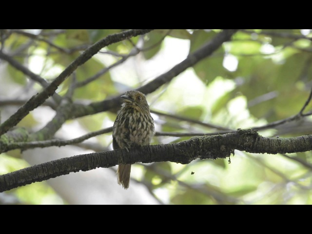 White whiskered Puffbird Белолицая малакоптила Malacoptila panamensis