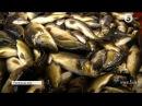 Підводні мисливці зарибили коропом річку Горинь