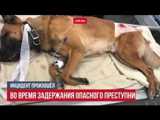 Полицейский пёс спас офицера, закрыв его от пули своим телом
