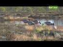 Охота на гуся в Карелии