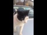 лезги кот