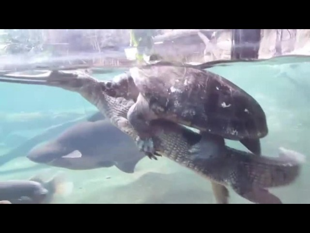 Rodeo Turtle