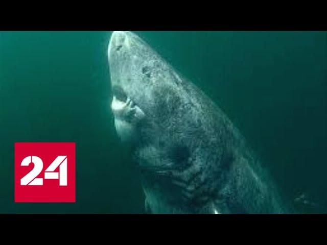 В Атлантике поймали 512-летнюю акулу