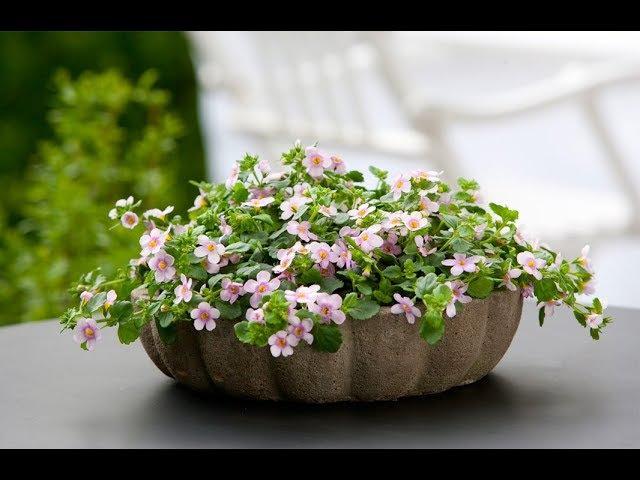 БАКОПА или СУТЕРА – ампельное растение для балконов. Уход и разведение в домашних условиях