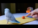 Athletic parrotlet dominates slam dunk competition