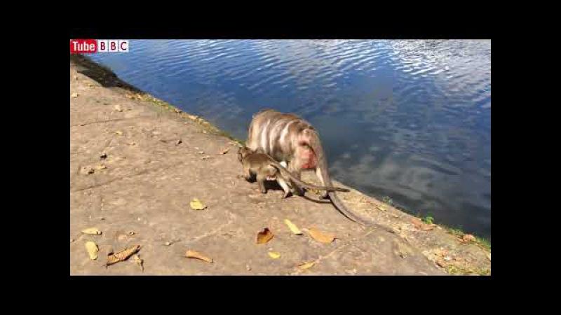 Baby Monkey Life and Mother Monkey Life, Monkeys 1082 Tube BBC