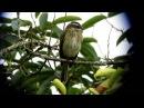 Piratic flycatcher Тиранн разбойник Legatus leucophaius
