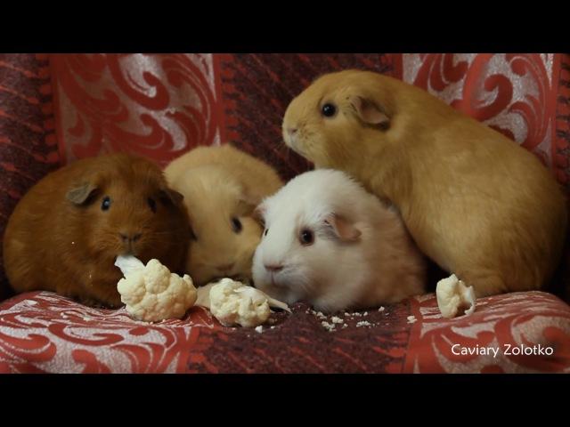 Амалия, Дженни, Большая Медведица и Кукарача кушают цветную капусту