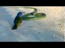 Маленькая птичка против самой ядовитой змеи в мире. Я в ШОКЕ! / Жестокая схватка