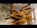 Pterinochilus murinus mating/Птеринохилюс муринус спаривание - Паук-птицеед Бешеный апельсин