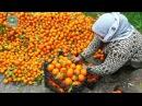 Сирия плодоносная корреспондент ФАН побывал на цитрусовой плантации и побеседовал с работниками