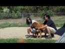 Тибетский мастиф 101 dogs Введение в собаковедение