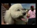 Бишон фризе в программе Введение в собаковедение