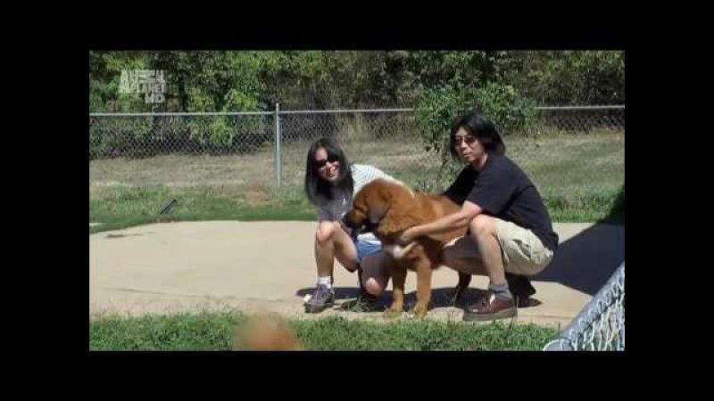 Тибетский мастиф, 101 dogs. Введение в собаковедение.