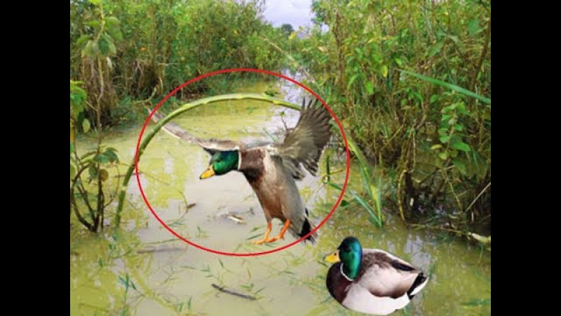 Awesome Quick Bird Trap Using Some Fishes - Amazing Boy Catching Wild duck ( Works 100% )