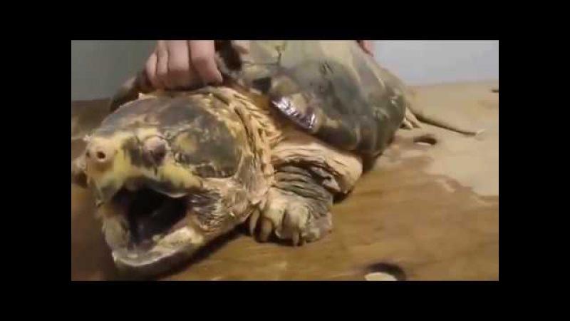Укус грифовой черепахи жесть!