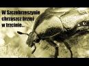 Łamacz językowy - W Szczebrzeszynie chrząszcz brzmi w trzcinie