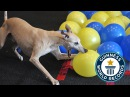 Fastest time to pop 100 balloons by a dog - Toby the whippet