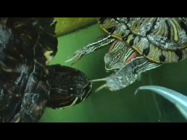 Заигрывание самца красноухой черепахи / Flirting Red-eared slider turtles