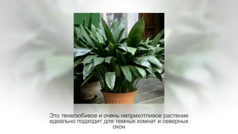 АСПИДИСТРА Дружная семейка. Неприхотливое комнатное растение