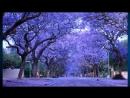 Самые Красивые Цветущие Деревья и Кустарники в Мире Глициния Делоникс.mp4