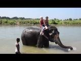 Купание слонов в Читване!