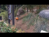 Snow Leopard playing with pumpkin
