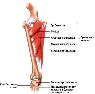 Роль головок четырехглавой мышцы бедра в разгибании коленного сустава цены на операцию тазобедренного сустава
