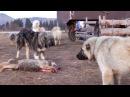 Волкодавы Топ 5 собак способных в одиночку справится с волком