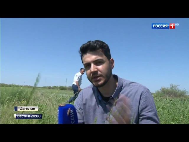 Вести 20 00 Сезон В Дагестане борются с нашествием марокканской саранчи
