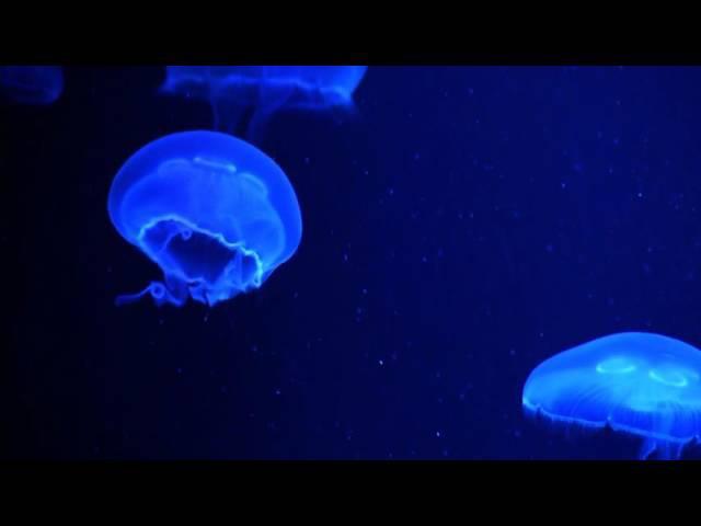 Medusas Aurelia en Acción