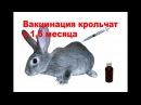 Вакцинирование крольчат в 1,5 месяца