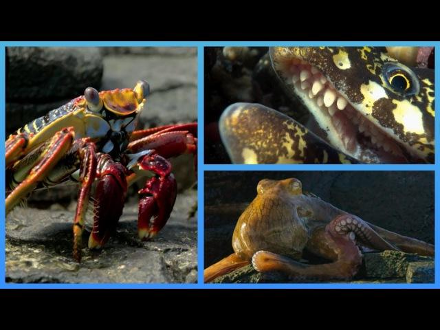 Crab vs Eel vs Octopus - Blue Planet II