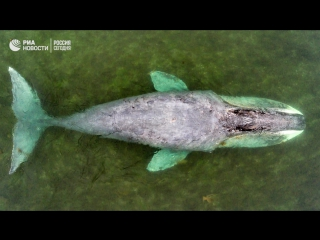 13-метровый гренландский кит застрял в устье реки в Хабаровском крае