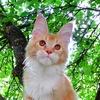 """Котята Мейн-кун — питомник """"Forest Yeti"""""""
