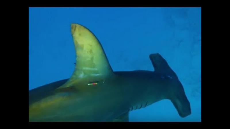 Акула-молот выходит на охоту