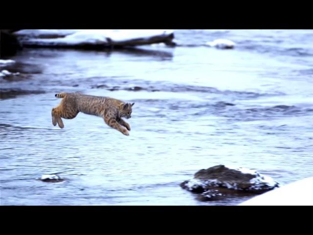 Самый красивый прыжок рыси снятый человеком Jumping Bobcat