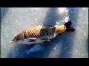 Первый лёд 2017. Зимняя рыбалка. ТОП крупных уловов. Карп. Щука. Амур. Белуга