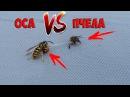 Смертельная схватка осы и пчелы
