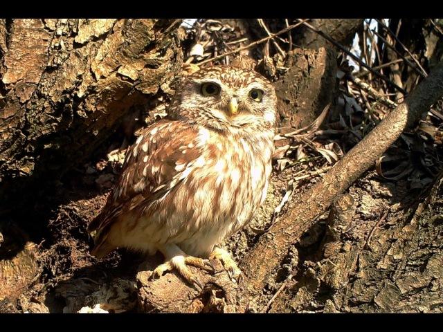 Civetta Little Owl Athene noctua 106 Fototrappolaggio a Corte Franca