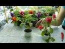 🌴Бальзамины Уоллера выращивание и уход 🌱