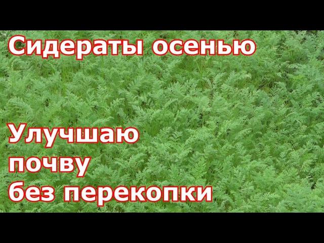 Сидераты осенью. Улучшаю почву без перекопки