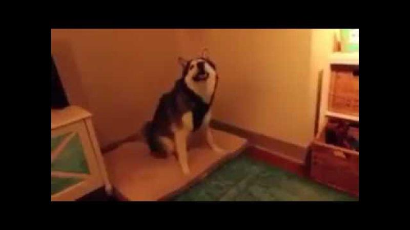 Прикол собака чихает / The dog sneezes